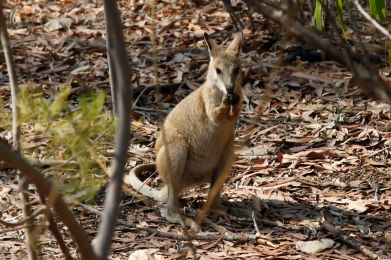 a tiny wallaby