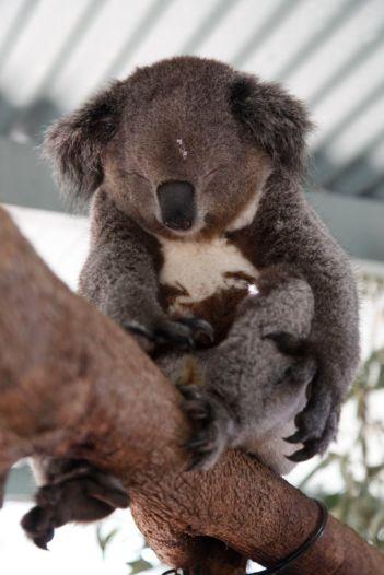 a snoring koala