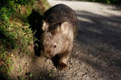 Willy Wombat